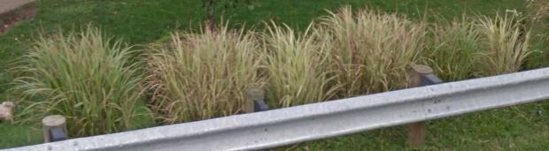 Ornamental Grasses - please help-screen-shot-2013-07-14-8.01.50-pm.jpg