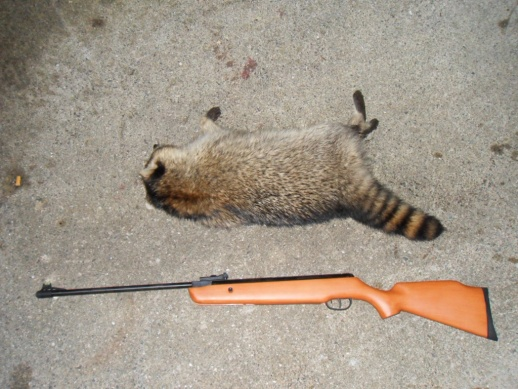 Massive Raccoon Problems-sdc10361.jpg