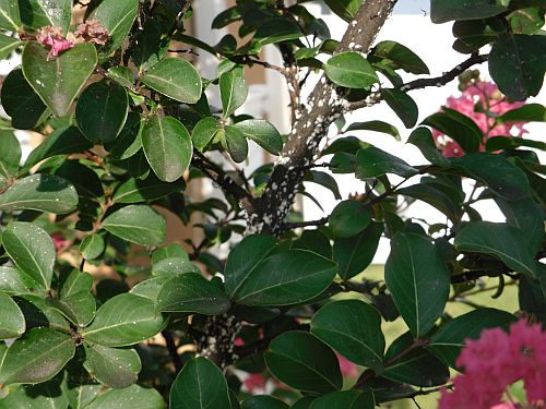 What is on my crape myrtle and how do I get rid of it?-small-2.jpg