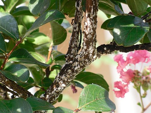 What is on my crape myrtle and how do I get rid of it?-small-3.jpg