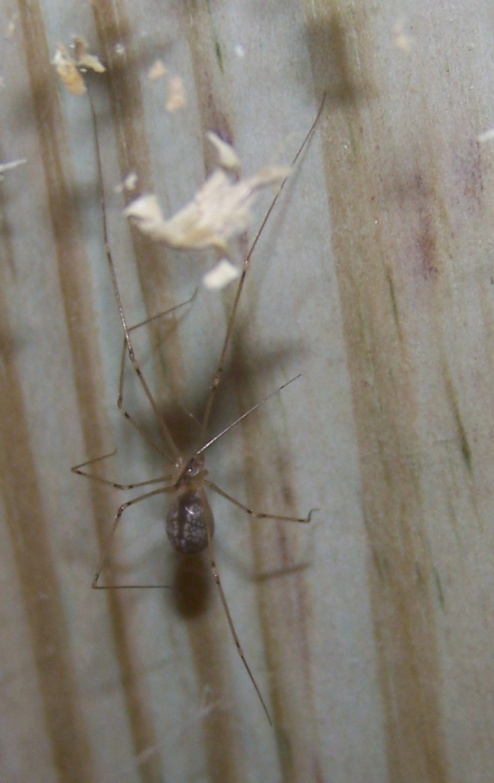 Anybody know this spider?-spider.jpg