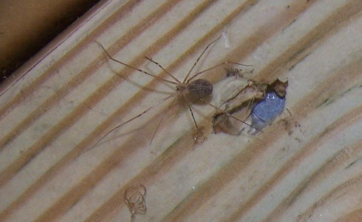 Anybody know this spider?-spider2.jpg
