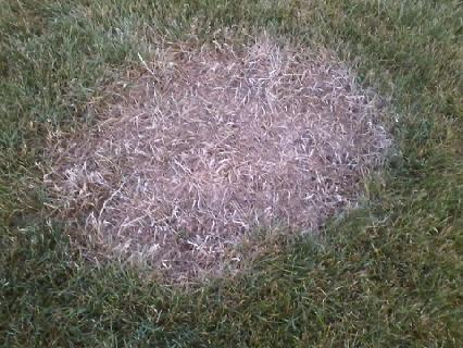 Every Year Same Large Lawn Spot Appears-spot-yard-close-up.jpg