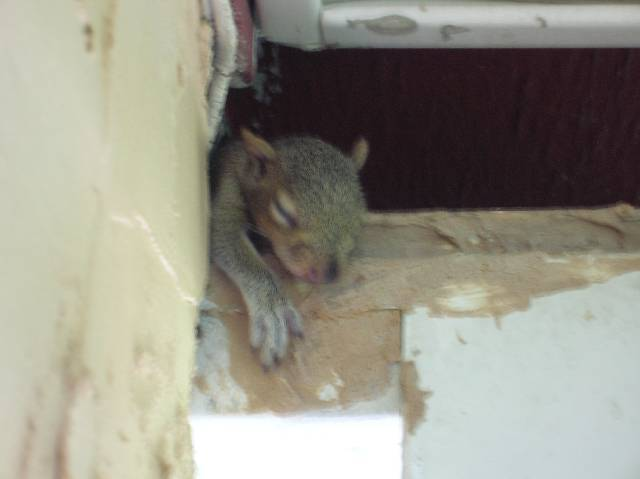 closing a gap in my roof (not from water, from pests)-squirrel-hanging-ledge.jpg