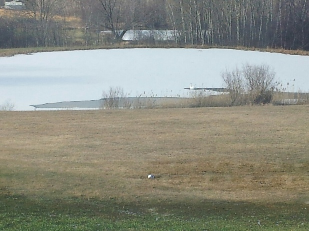 Backyard skating rink-swan.jpg