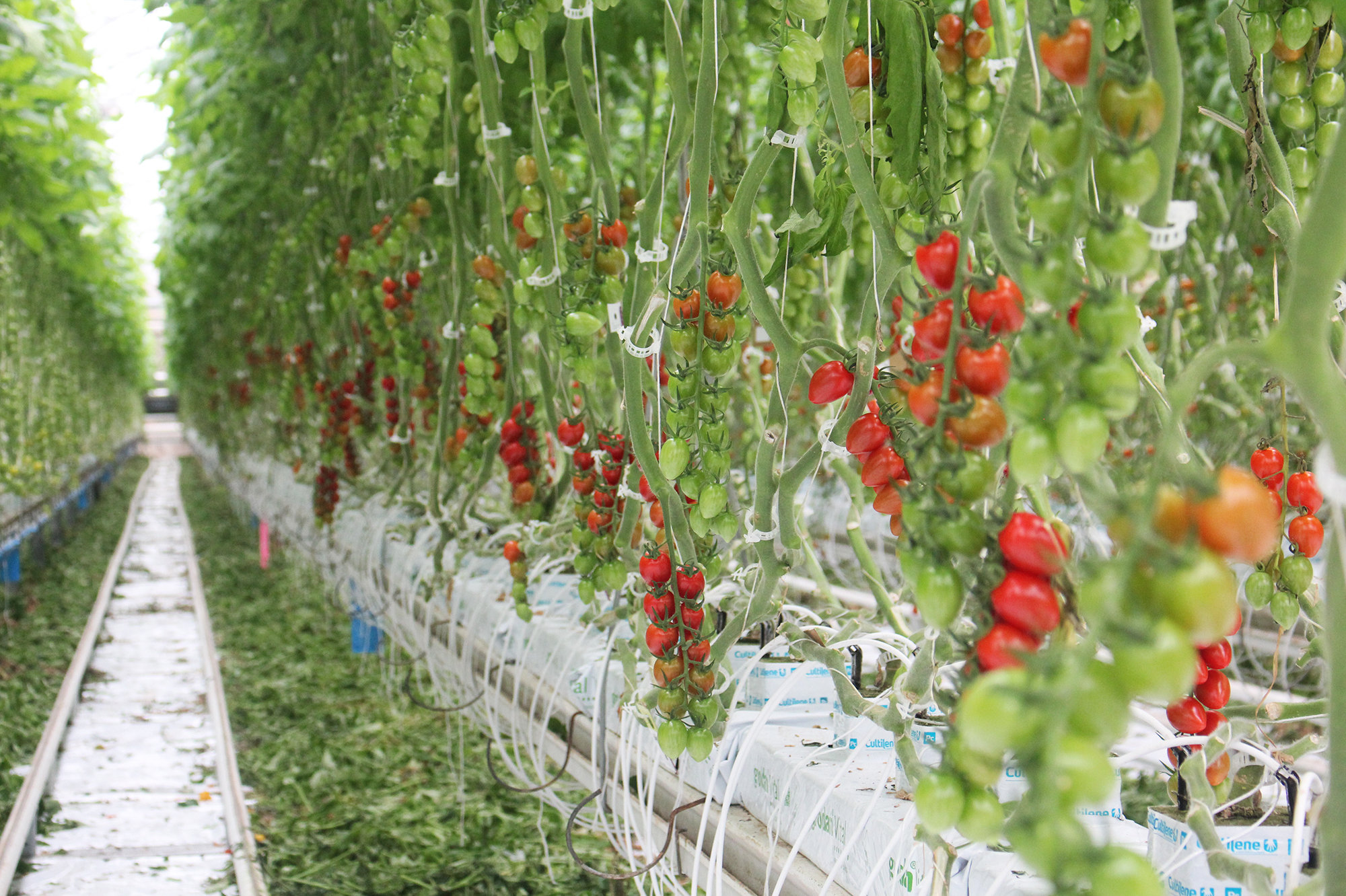 another tomato problem-tomatoes1.jpg