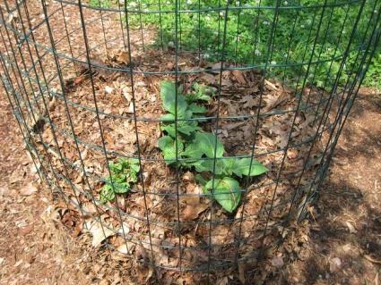 Trash Can Kennebec Potatoes in Zone 6-trash-can-potatoes-06222012-003.jpg