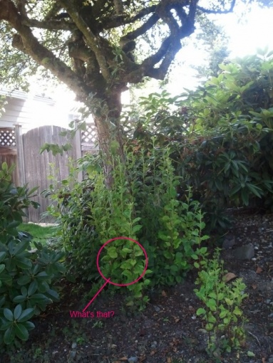 Is this weed?-tree-front-house.jpg