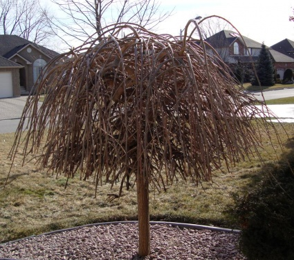 Weeping Mulberry Problems Garden Design Ideas