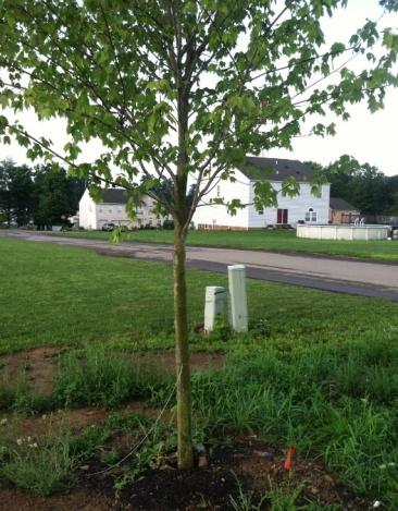 Transplant tree near underground utility lines?-tree.jpg