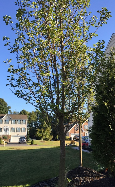 Is this a Cleveland Pear Tree?-tree1.jpg
