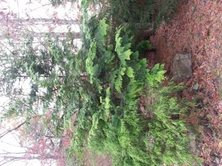 Identify This Tree?-tree1.jpg