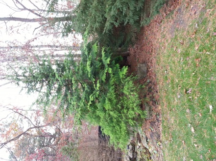 Identify This Tree?-tree2.jpg