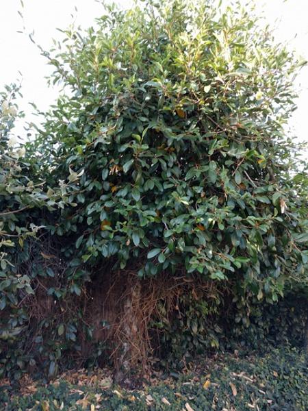 Vine removal help-vine-tree1.jpg