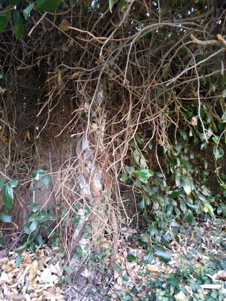 Vine removal help-vine-tree1a.jpg