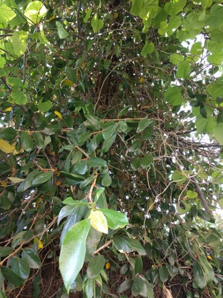 Vine removal help-vine-tree2.jpg