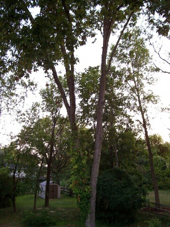 Black walnut tree in our backyard-walnut.jpg