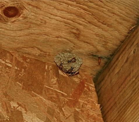 Gulf Island Building.-wasp-nest.jpg