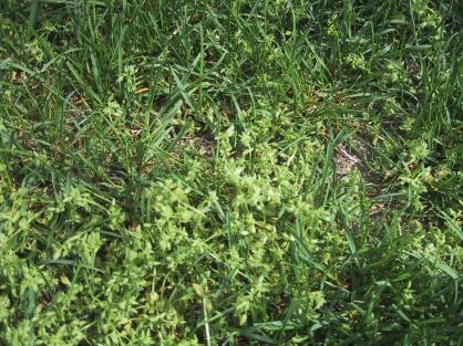 need help in identifying this weed-weed-closeup.jpg