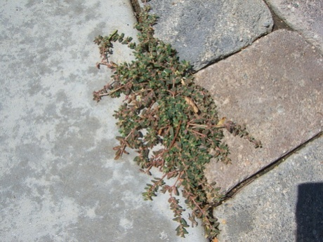 What kind of weed is this and how do I get rid of it?-weed2.jpg