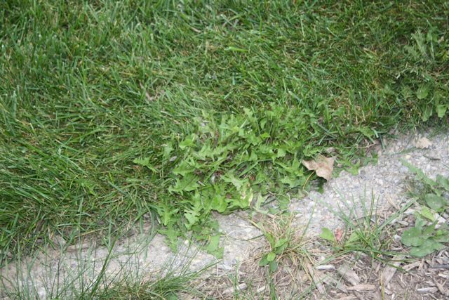 New Home... Existing Lawn-weeds.jpg