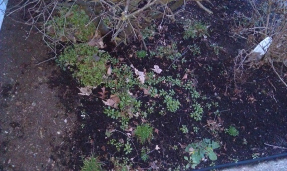 What will kill these weeds and not my bushes?-weeds_pic1-800x478-.jpg