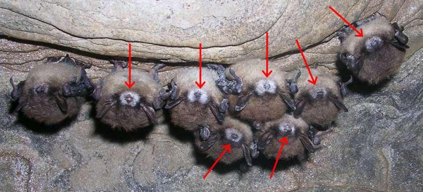 The diy bat-house challenge-wns-photo.jpg