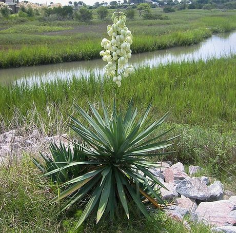 How do you kill a yucca?-yucca-plant.jpg