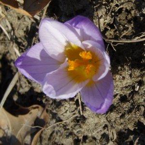 Saffron 2009