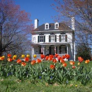 tulipssunny