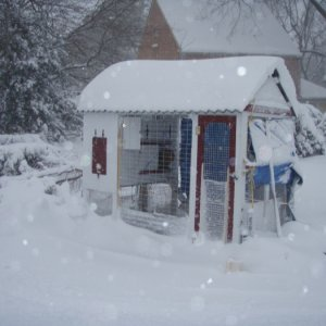 2010 Chickens in the snow