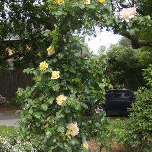 2011 Rose Garden