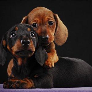 pair of dox puppies