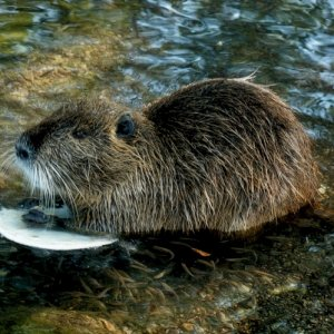 Nutria eating tortilla.