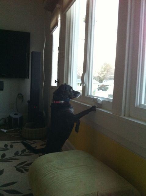 Crackie is some sort of shepherd mix. She must keep tabs on everything. Including things outside.