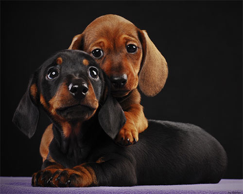 pair of dox puppies