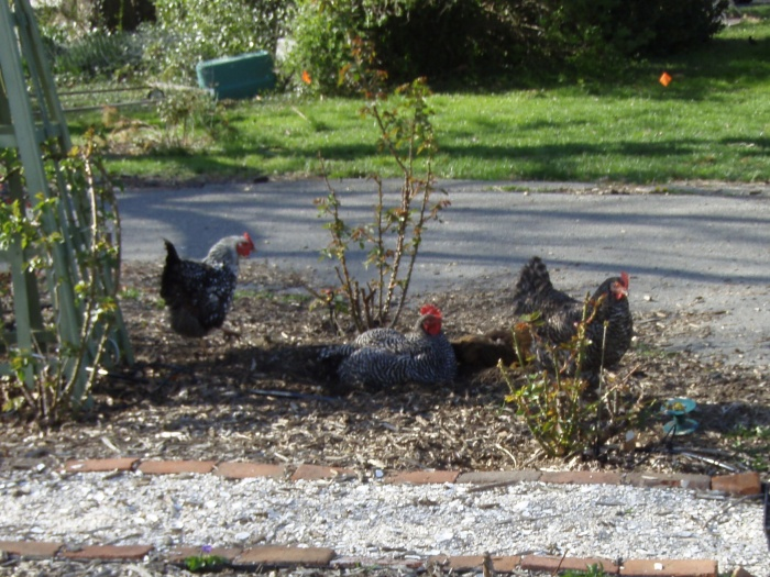 What do you mean, we can't take a dust bath in your rose garden???